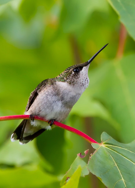 humming bird smug.jpg