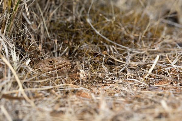 Pygmys