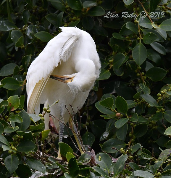 Juvenile Snowy Egret in nest tree  - 6/24/2019 - Imperial Beach Sports Park