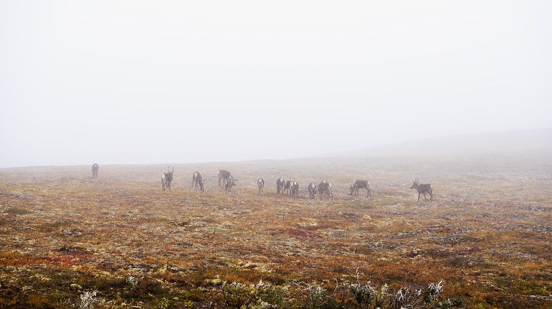 Caribous in the fog