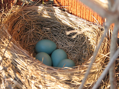 20090427 American Robin Nest