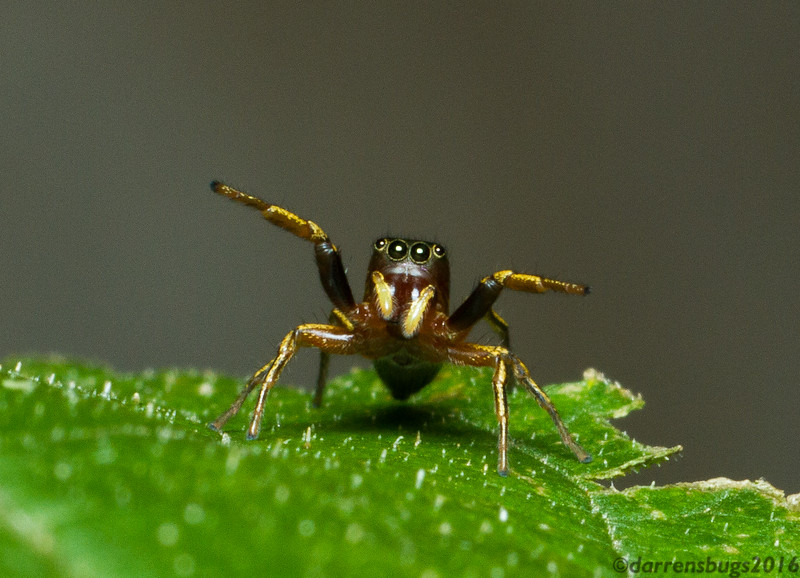 Jumping spider (Salticidae) from Iowa.