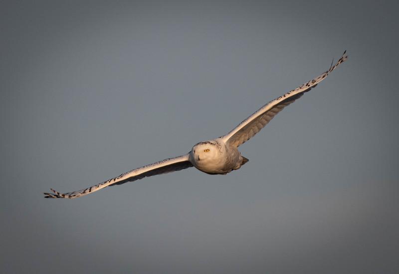 _5004600 Snowy Owl wide wings.jpg