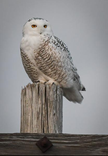DSC_2581-Edit Snowy Owl Thumper close up.jpg