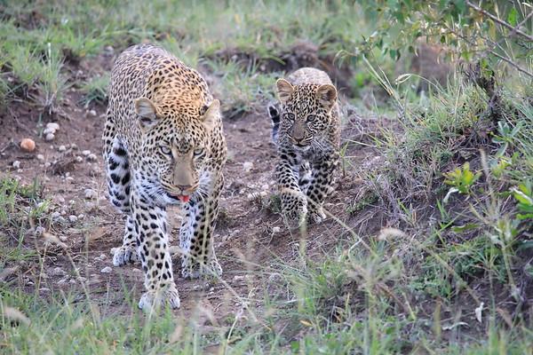 Leopard Cubs Mara Kenya 2018