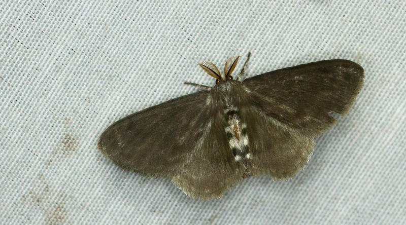 A small moth from Panama.