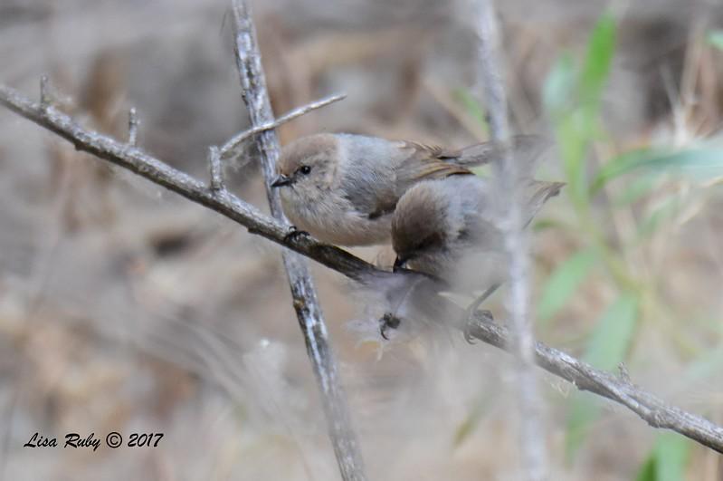 Bushtits -6/11/-2017 - Lake Hodges, Bernardo Bay Trail