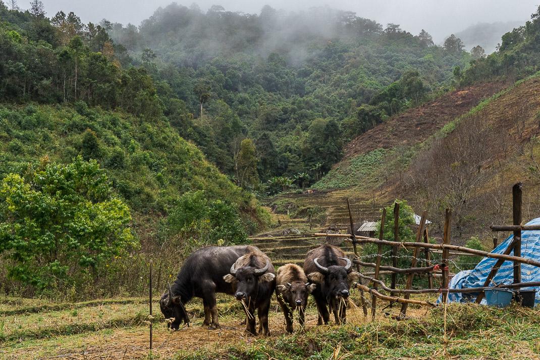 Mae Chaem Farm Cows