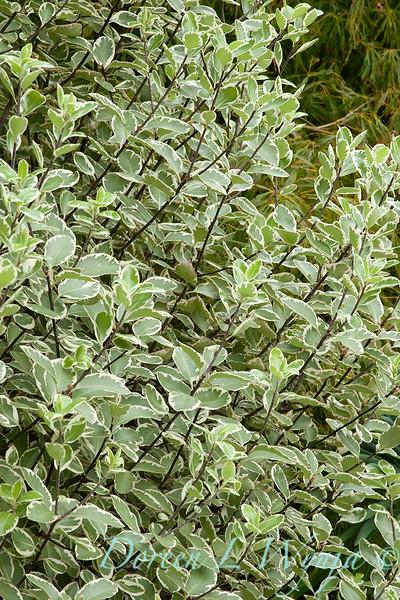 Pittosporum tenuifolium Marjorie Channon_025.jpg
