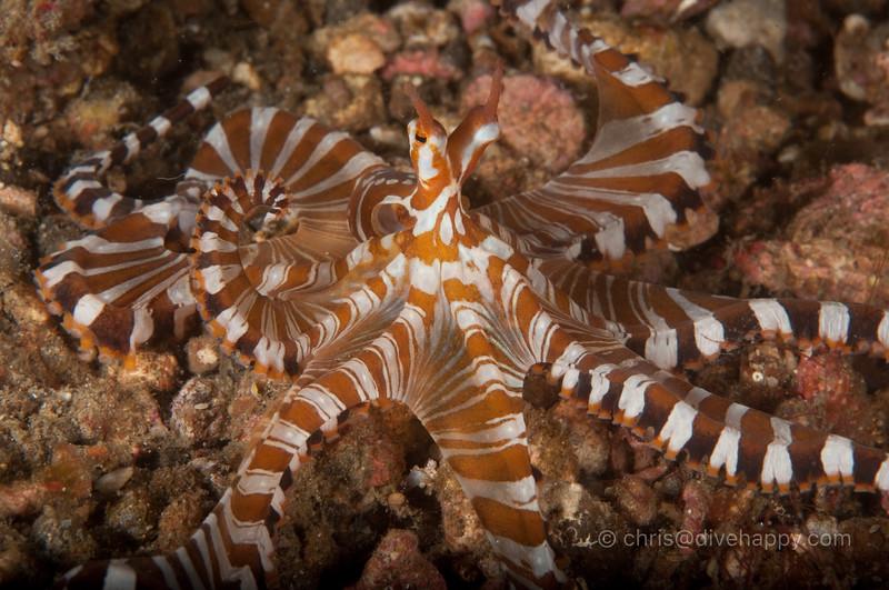 Wunderpus, Lembeh Strait, Indonesia