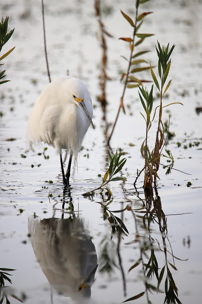IMG_3006 Lindo Lake Milo Egret 12.31.2017.jpg