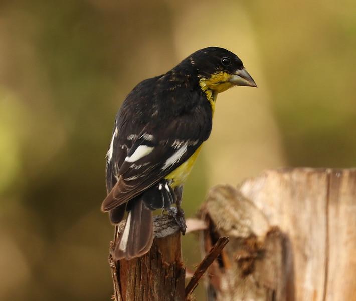 Goldfinch IMG_3930.jpg
