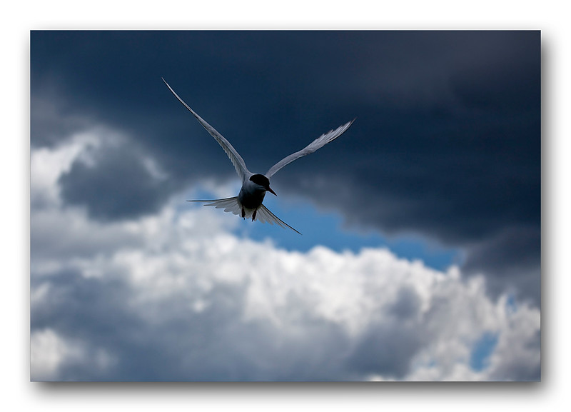 Arctic Tern 1-1.jpg