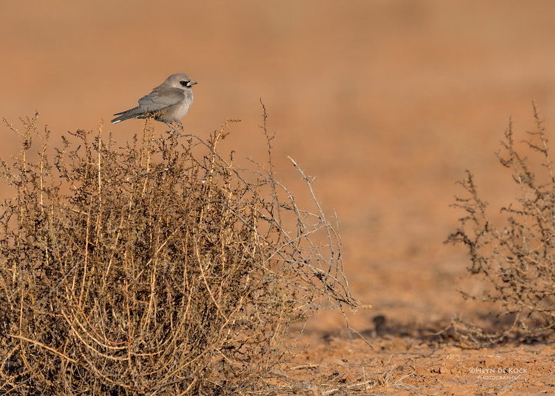 Black-faced Woodswallow, Bowra, Cunnamulla, QLD, Aus, Sept 2017-2.jpg