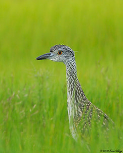 Yellow-crowned Night-Heron, Nyctanassa violacea