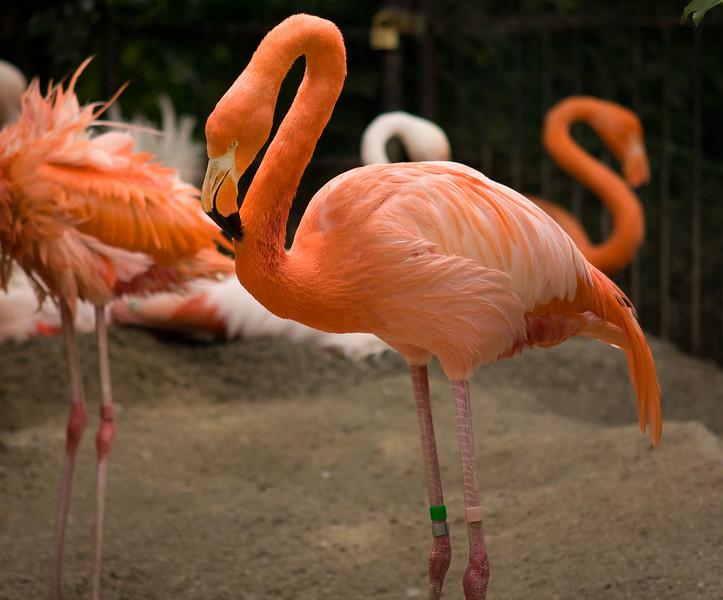 Flamingo in Kyoto City Zoo