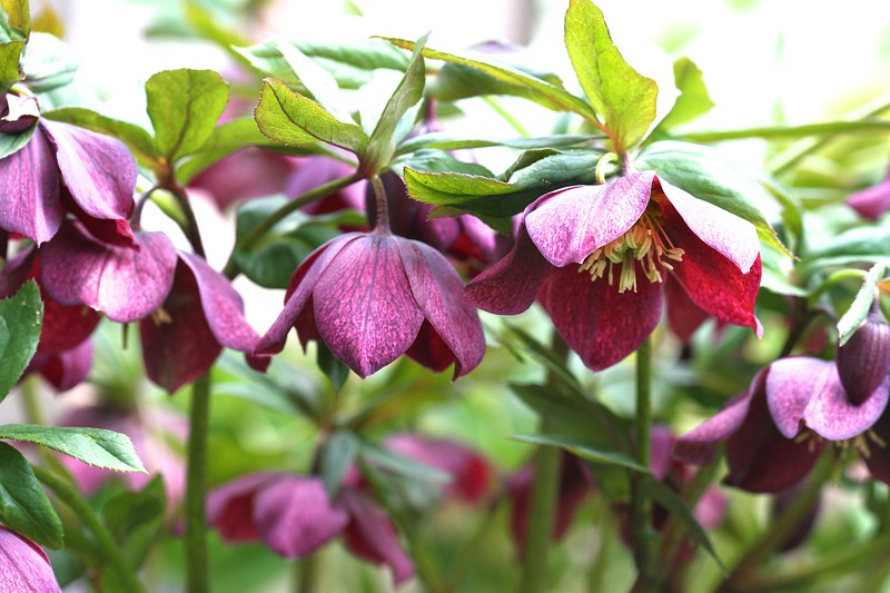 """I had to lay on the ground upside down to get this shot. Hellebores don't like their """"skirts"""" looked under I guess...lol! In the garden March 18, 2013"""