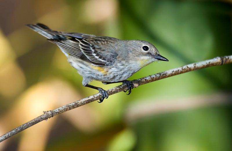 Yellow-rump Warbler.jpg