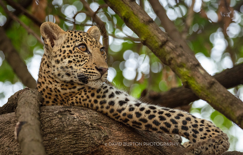 Mfuwe_leopard_8376cc2fx-web.jpg