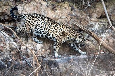 Wildlife of the Pantanal