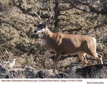 Mule Deer M77639.jpg