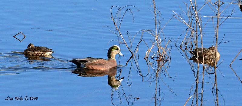 American Wigeon - 1/2/2015 - Lake Hodges, southeast trail (south of footbridge)