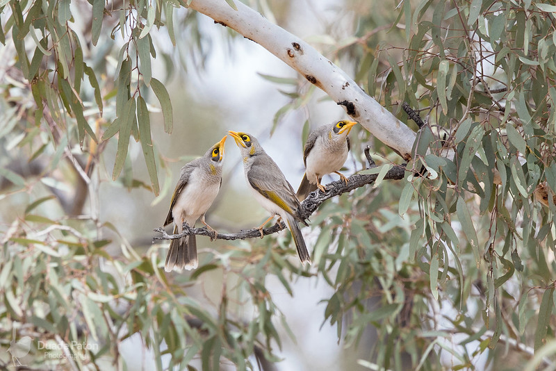 Yellow-throated Miners