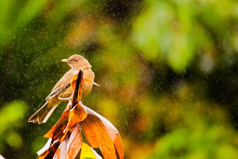 Clay-colored Robin Turdus grayii.jpg