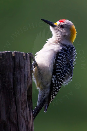 Woodpecker, Golden-Fronted