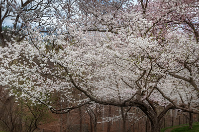 Cherry Blossoms - Georgetown - March 2016