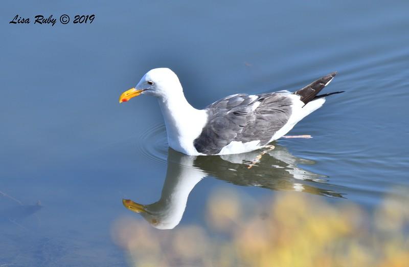 Western Gull - 5/24/2019 - Robb Field