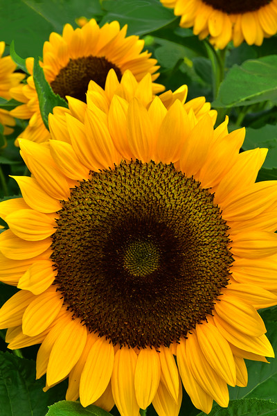 Sunflowers in Gold and Green