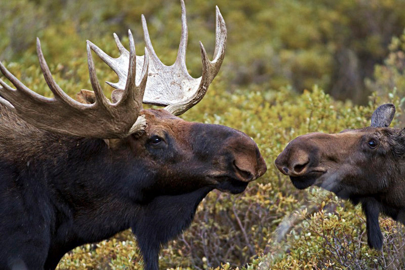. A bull moose approaches a female moose in a marshy field near Georgetown, Colorado.  September through October is generally the mating season for moose in Colorado.    (Werner R. Slocum/The Denver Post)