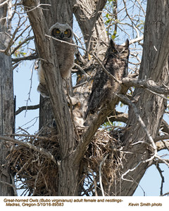 Great Horned Owls F&N89583 .jpg