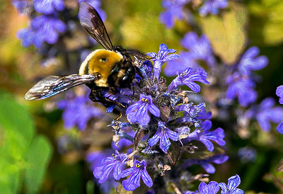"""""""The Pollinator"""" (photography) by Robert Bolla"""