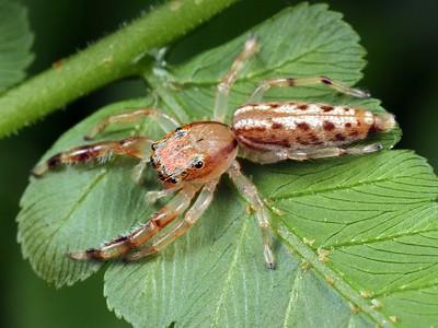 genus Bavia