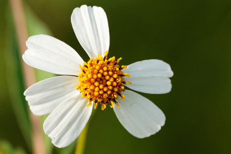 Spanish Needles - Flower grows in an asymmetrical design