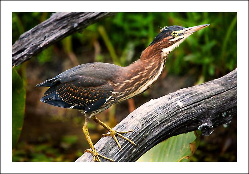 Green Heron no 2.jpg
