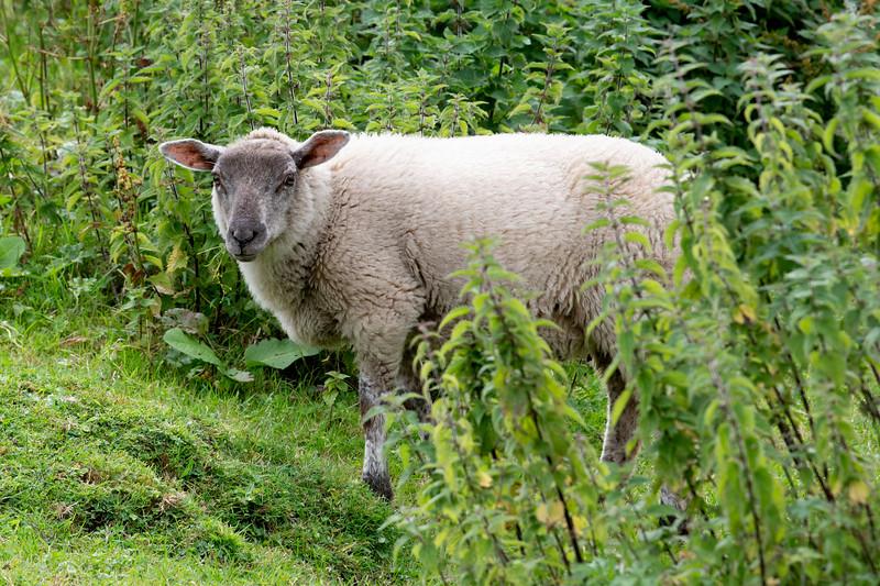 Sheep on a farm, Castlebar, County Mayo, Ireland