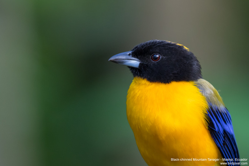 Black-chinned Mountain-Tanager - Mashpi, Ecuador