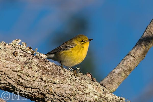 Pine Warbler Image Gallery