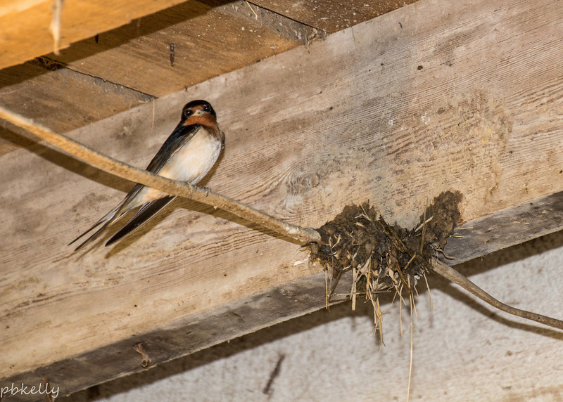 5/07/2014.  Mama Swallow sitting beside her started nest.
