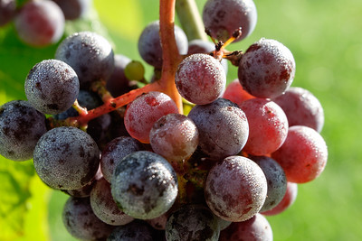 August 16, Wine Grapes