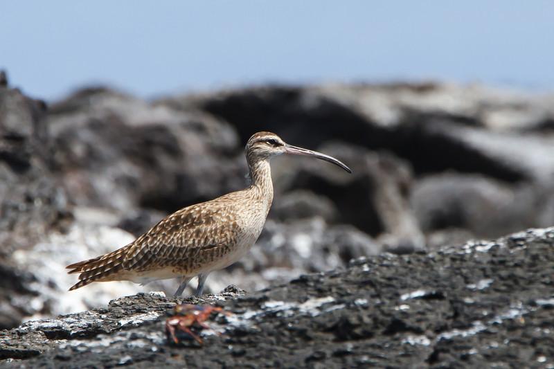 Whimbrel hudsonicus at Punta Moreno, Isabela, Galapagos, Ecuador (11-23-2011) - 206.jpg