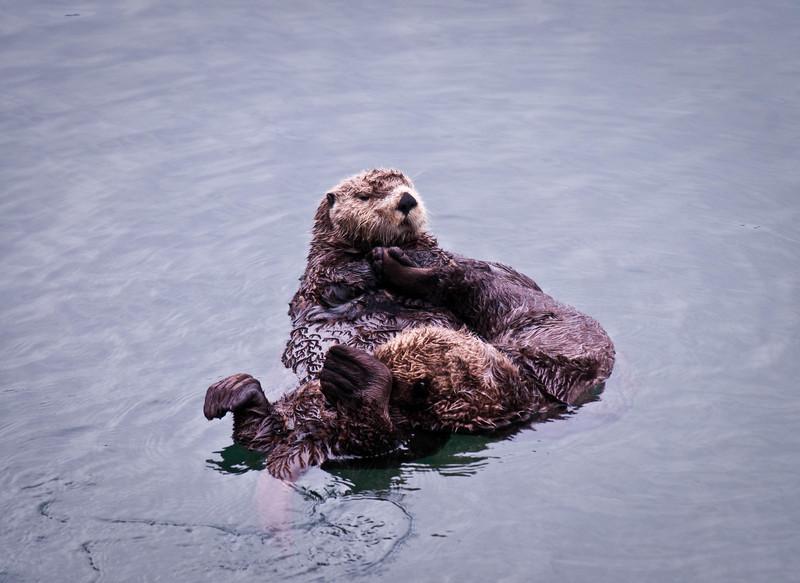 Sea Otter Togetherness Cordova Ferry Dock Cordova, Alaska © 2009