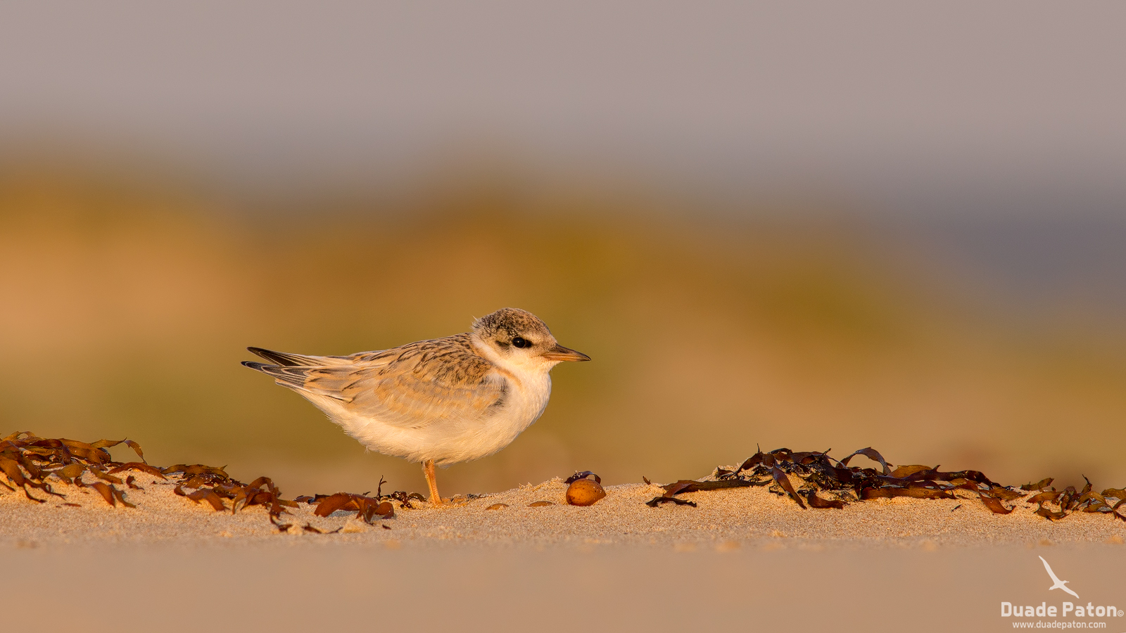 Little Tern Fledgling