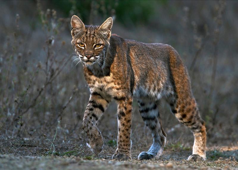 Wild Expectations-Wildlife Conservation Summer/Fall 2014-Bobcats