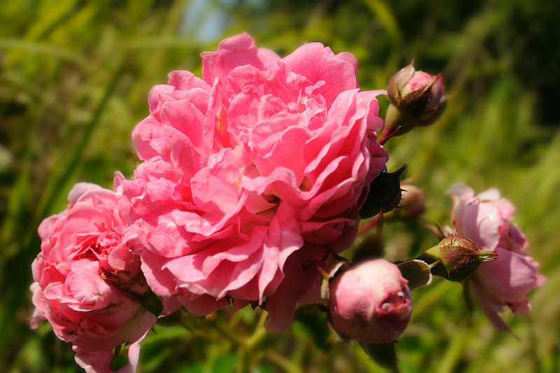 A few more wild roses.