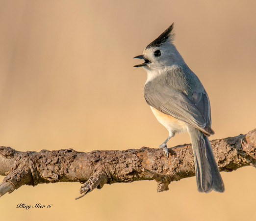 Black-crested Titmouse_DWL2575.jpg