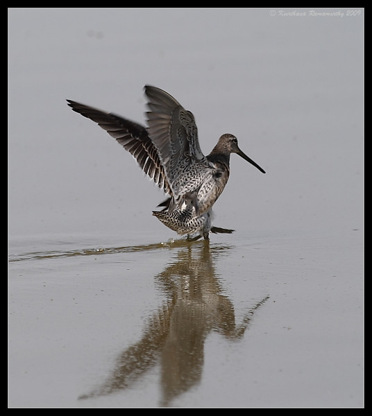 Long-billed Dowitcher landing, Salton Sea, Imperial County, California, November 2009